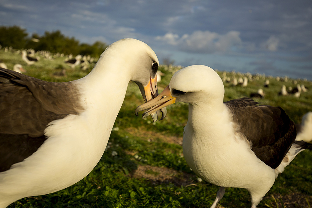 island-conservation-invasive-species-preventing-extinctions-laysan-albatross-pair-midway