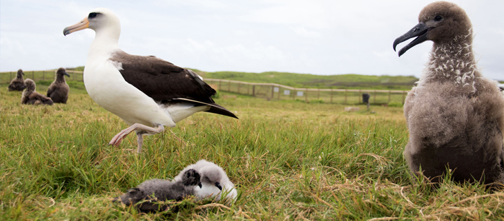 island-conservation-invasive-species-preventing-extinctions-laysan-albatross-translocation-james-campbell-refuge-feat
