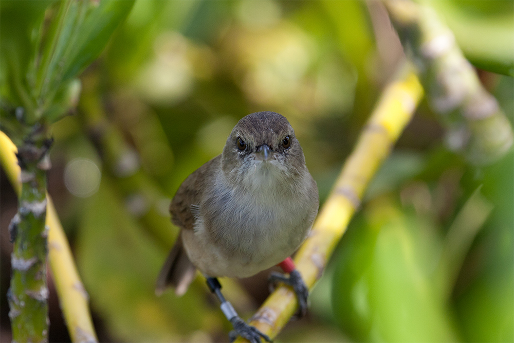 island-conservation-invasive-species-preventing-extinctions-nihau-millerbird-laysan-millerbird