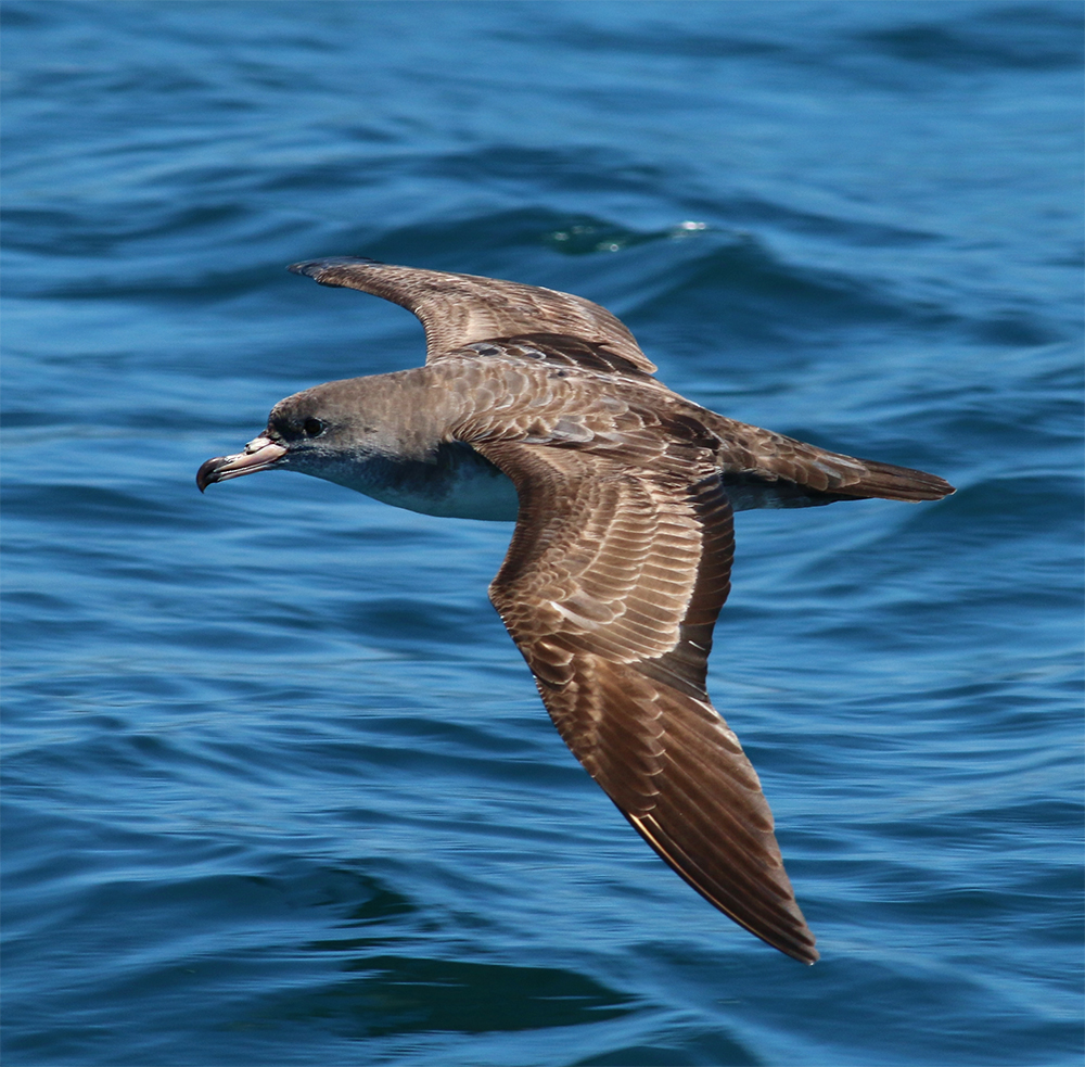 island-conservation-invasive-species-preventing-extinctions-pink-footed-shearwater-seabirds