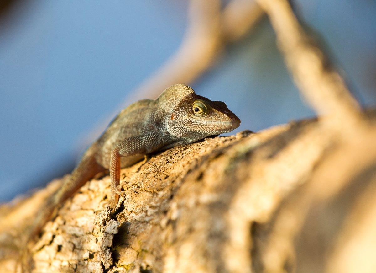 island-conservation-invasive-species-preventing-extinctions-tree-anole