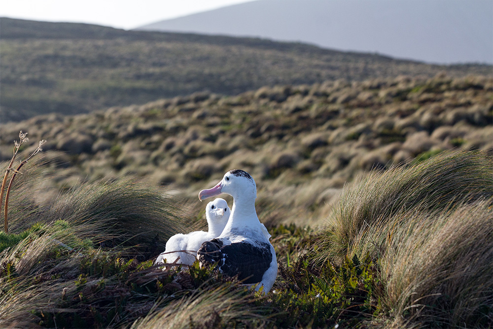 island-conservation-preventing-extinctions-invasive-species-Antipodes-Wandering-Albatross-adult-with-chick