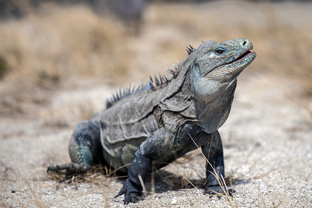 island-conservation-preventing-extinctions-invasive-species-Ricords-Iguana
