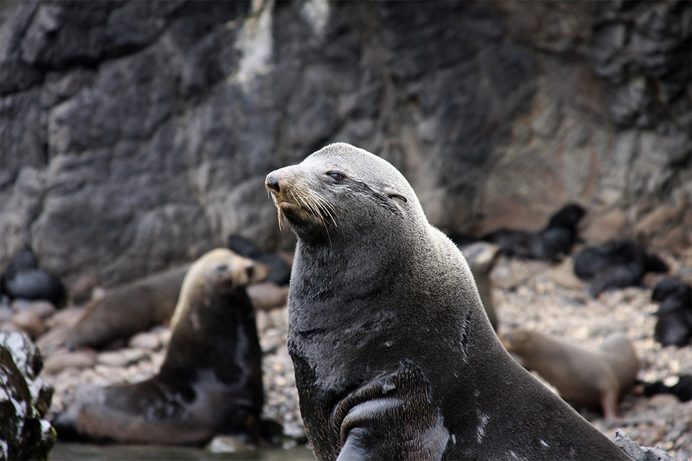 island-conservation-invasive-species-preventing-extinctions-Juan-Fernandez-Fur-seal-lobi