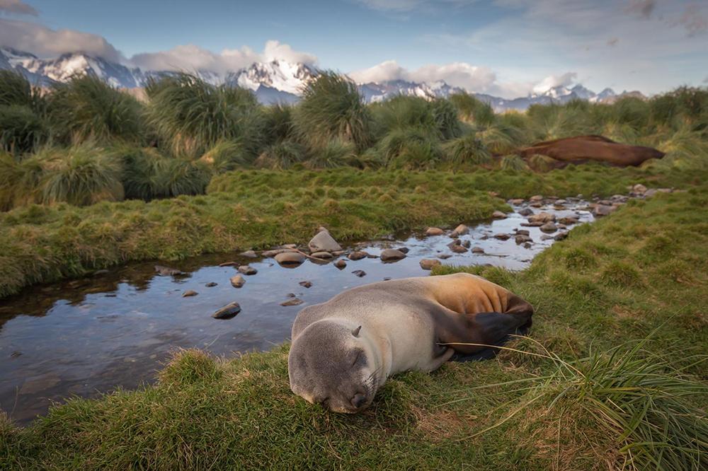 island-conservation-invasive-species-preventing-extinctions-antarctic-fur-seal