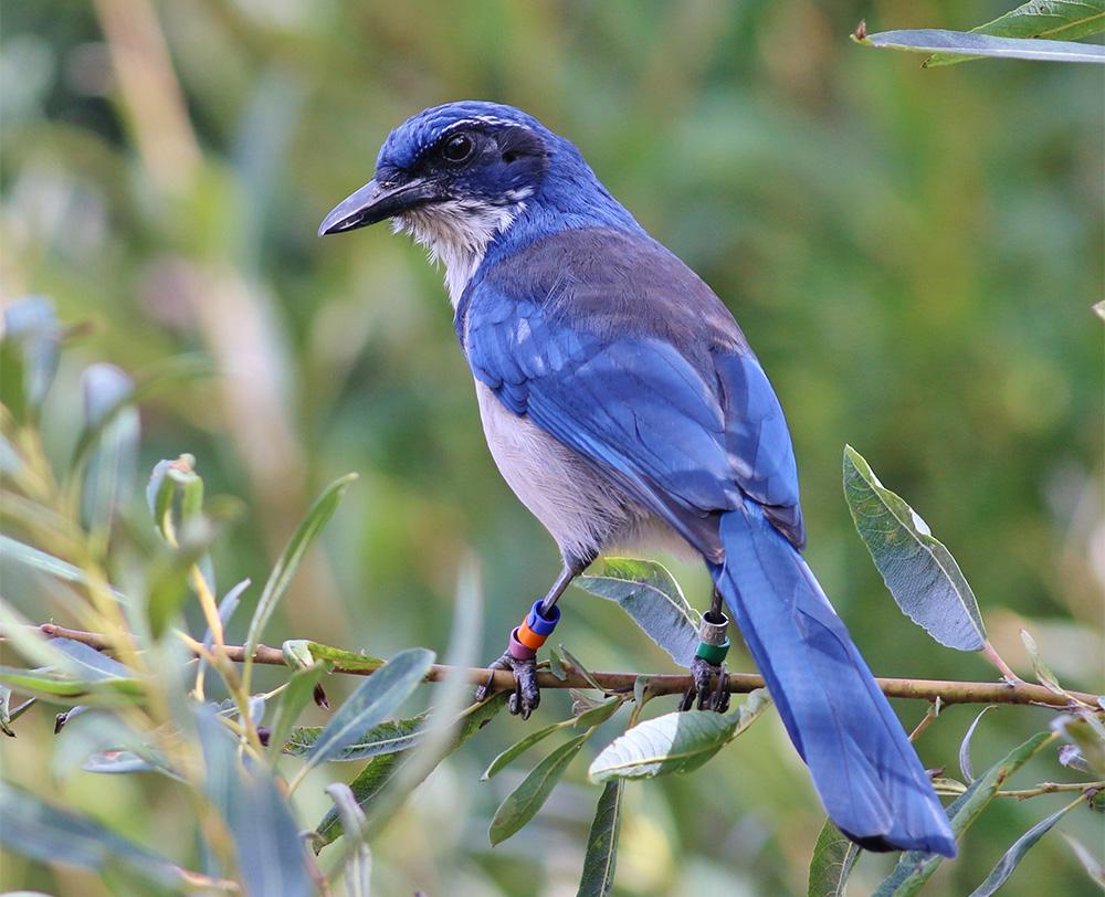 island-conservation-invasive-species-preventing-extinctions-california-channel-islands-santa-cruz-island-scrub-jay