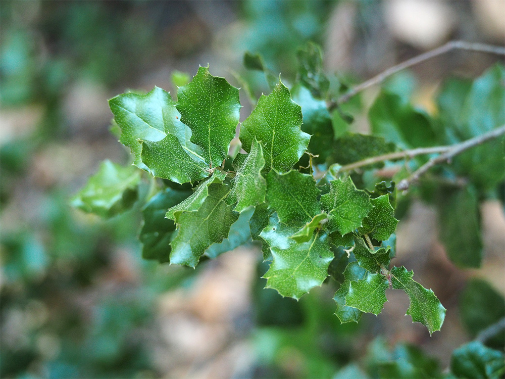 island-conservation-invasive-species-preventing-extinctions-california-coast-live-oak