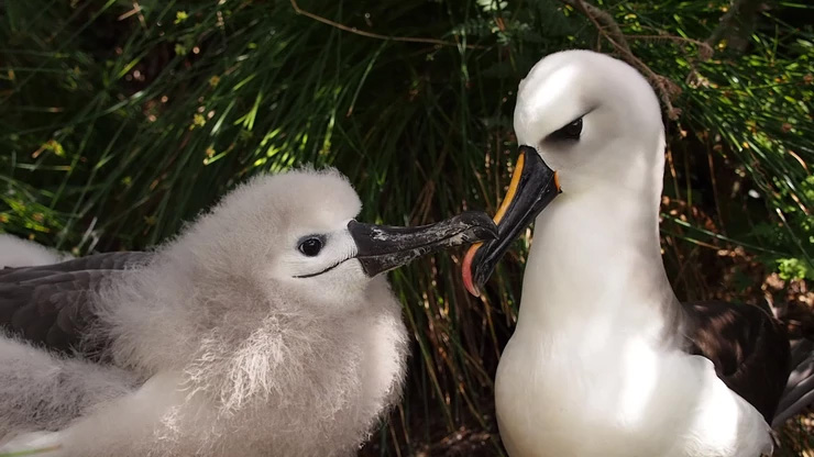 island-conservation-invasive-species-preventing-extinctions-gough-island-atlantic-yellow-nosed-albatross-chick