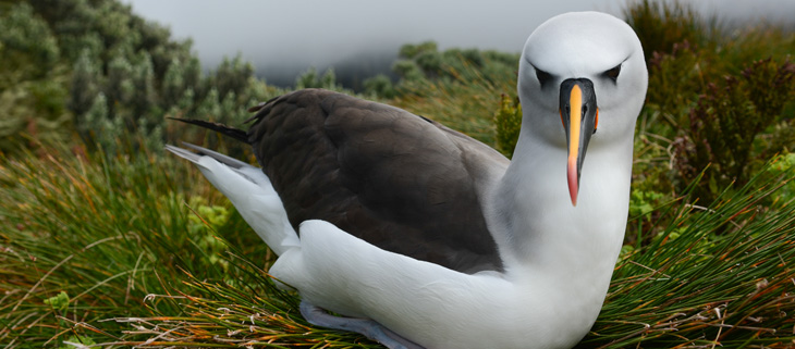 island-conservation-invasive-species-preventing-extinctions-gough-island-atlantic-yellow-nosed-albatross-feat