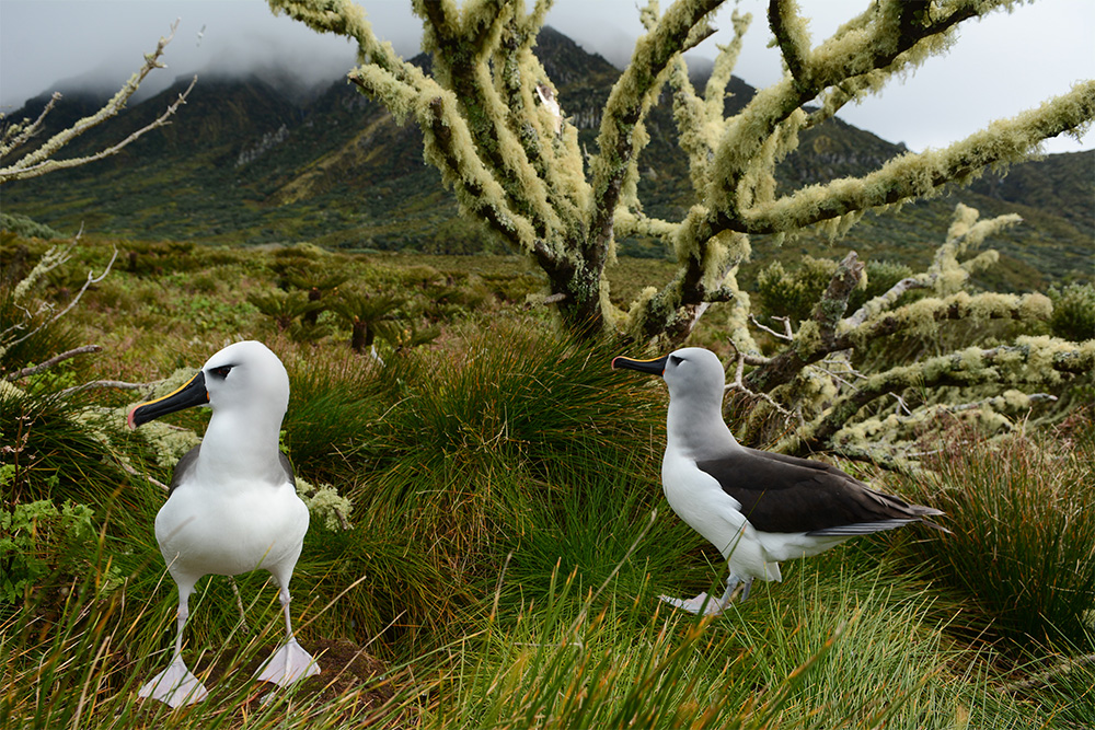 island-conservation-invasive-species-preventing-extinctions-gough-island-atlantic-yellow-nosed-albatross