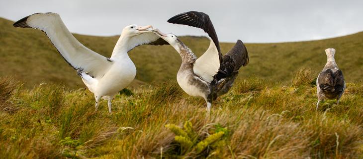 island-conservation-invasive-species-preventing-extinctions-gough-island-restoration-project-memorandum-of-understanding-feat