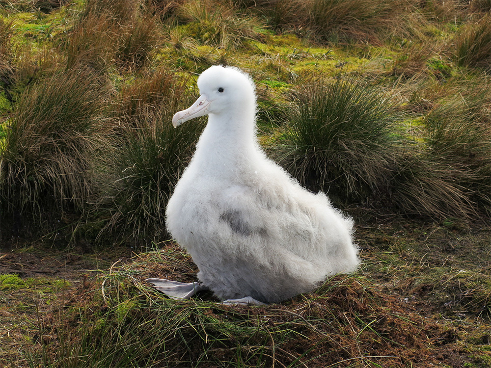 island-conservation-invasive-species-preventing-extinctions-gough-island-restoration-project-tristan-albatross-chick