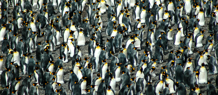island-conservation-invasive-species-preventing-extinctions-south-georgia-island-penguins-feat