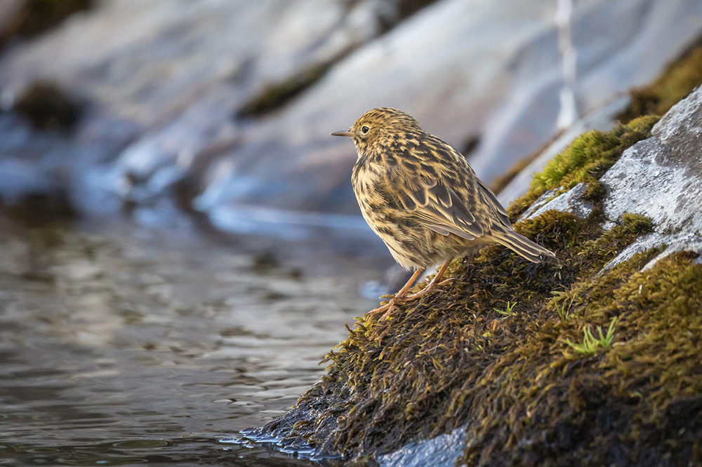 island-conservation-invasive-species-preventing-extinctions-south-georgia-pipits