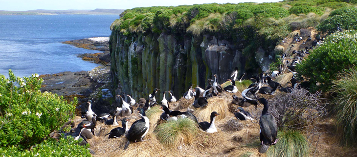 island-conservation-invasive-species-preventing-extinctions-subatarctic-island-auckland-islands