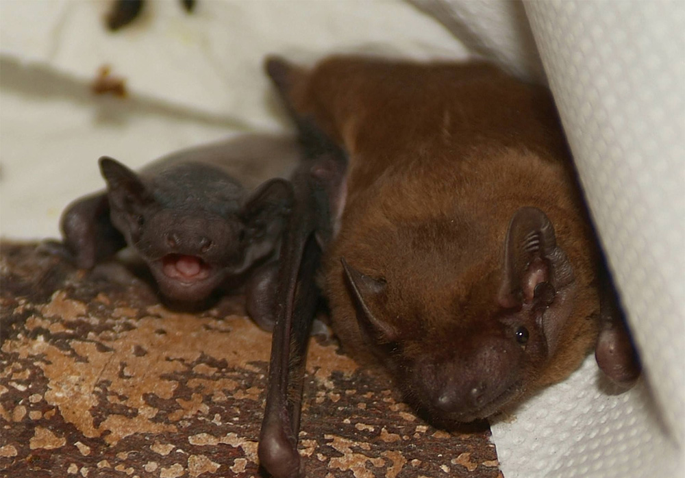 island-conservation-invasive-species-preventing-extinctions-greater-noctule-bat