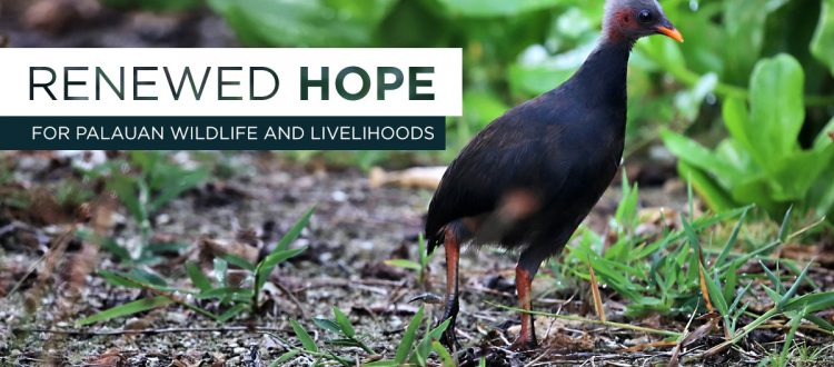 Island conservation palau kayangel megapode