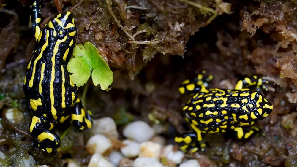 island-conservation-preventing-extinctions-invasive-species-Australia-Southern- Corroboree-Frog
