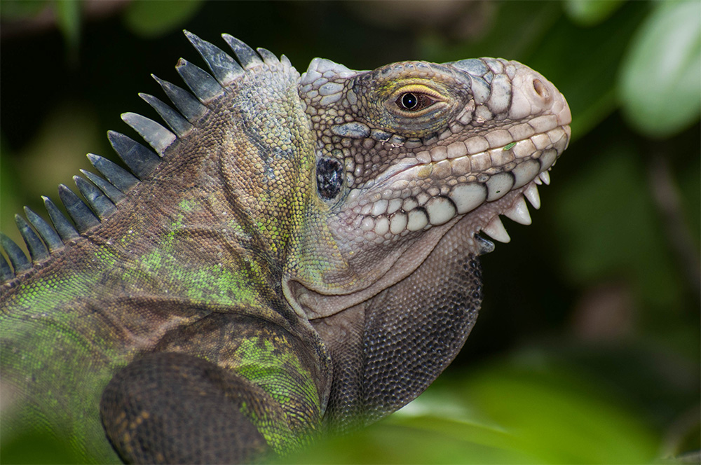 island-conservation-preventing-extinctions-invasive-species-Caribbean-Lesser-Antillean-Iguana-face