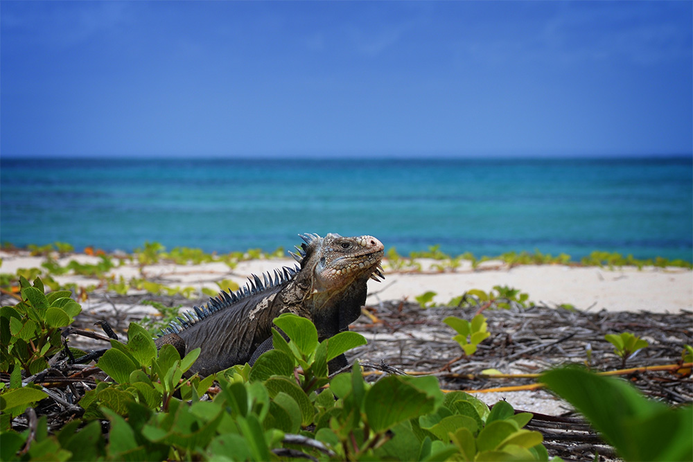 island-conservation-preventing-extinctions-invasive-species-Caribbean-Lesser-Antillean-Iguana