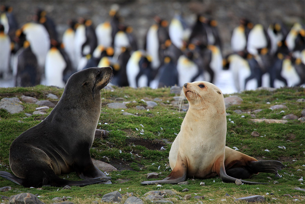 island-conservation-preventing-extinctions-invasive-species-Kerguelen-Islands-antarctic-fur-seal