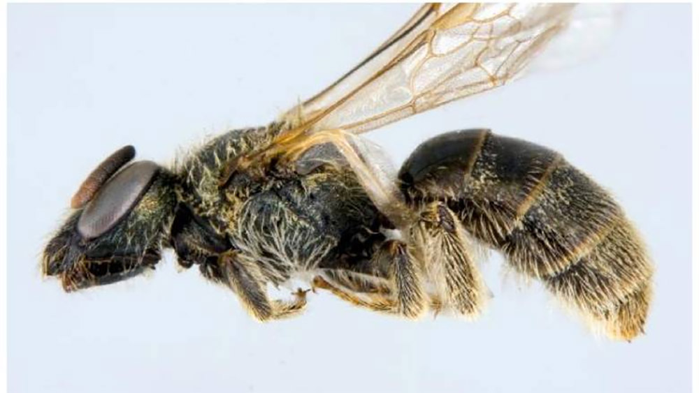 island-conservation-preventing-extinctions-invasive-species-Sable-Island-Sweat-Bee