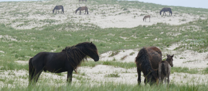 island-conservation-preventing-extinctions-invasive-species-Sable-Island-horses-feat