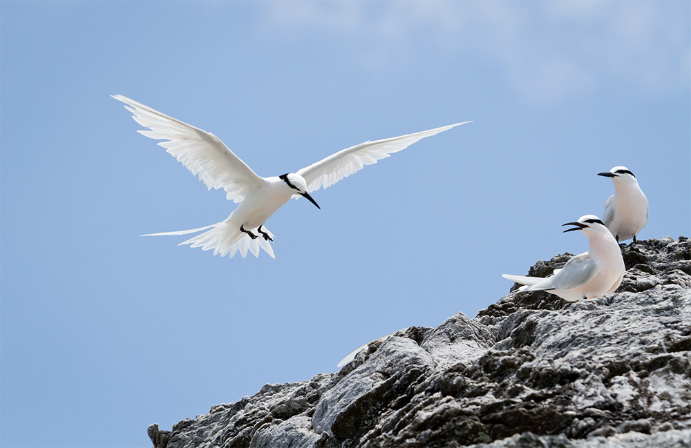 island-conservation-invasive-species-preventing-extinctions-Australia-Queensland-Restoration-project-Black-naped-tern