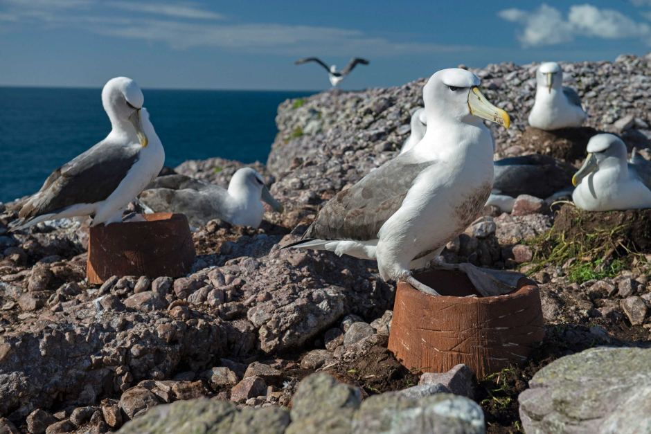 island-conservation-invasive-species-preventing-extinctions-black-browed-albatross-macquarie-island-artificial-nests