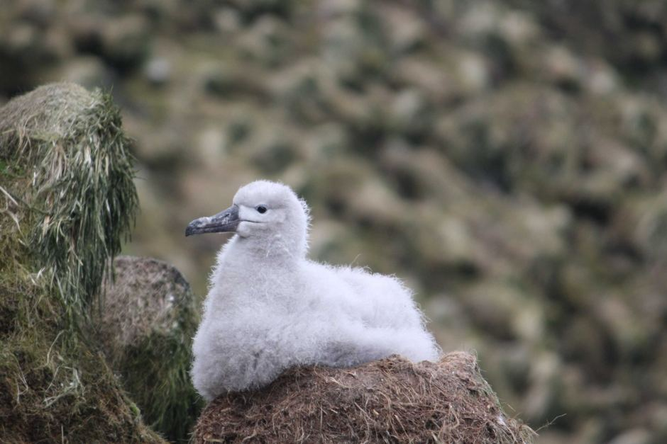 island-conservation-invasive-species-preventing-extinctions-black-browed-albatross-macquarie-island-juvenile