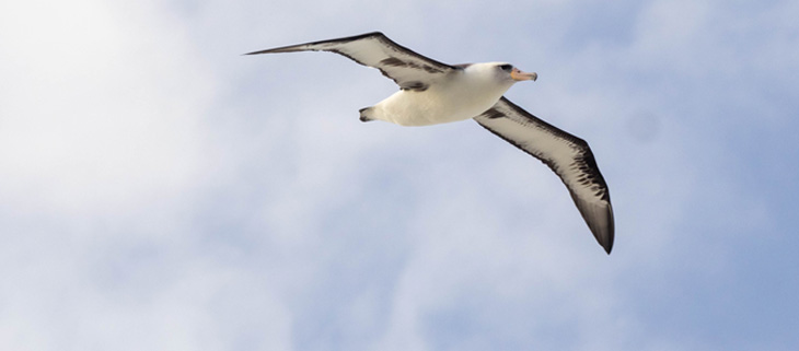 island-conservation-invasive-species-preventing-extinctions-laysan-albatross-invasive-mice-feat