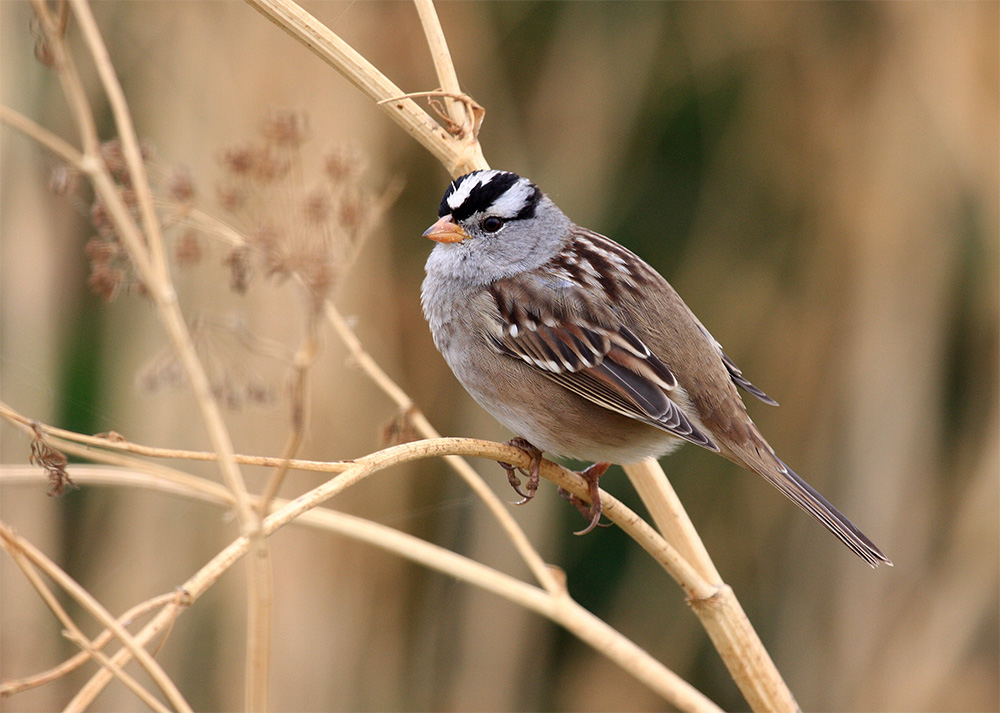 island-conservation-invasive-species-preventing-extinctions-white-crowned-sparrow-industrial-farming