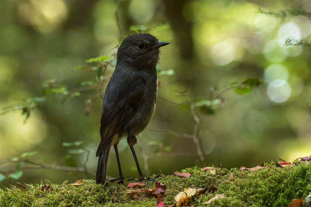 island-conservation-preventing-extinctions-invasive-species-New-Zealand-South-Island-Robin