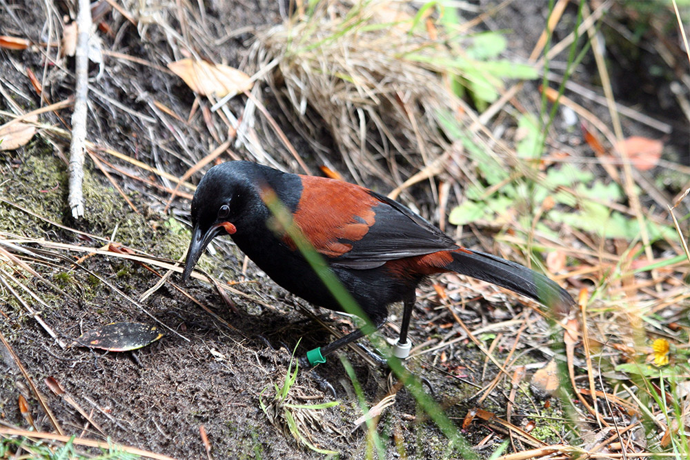 island-conservation-preventing-extinctions-invasive-species-New-Zealand-South-Island-Saddleback