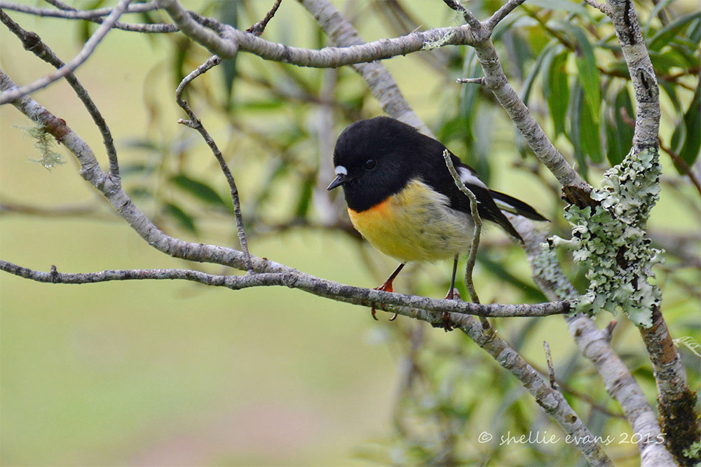 island-conservation-preventing-extinctions-invasive-species-New-Zealand-Tomtit