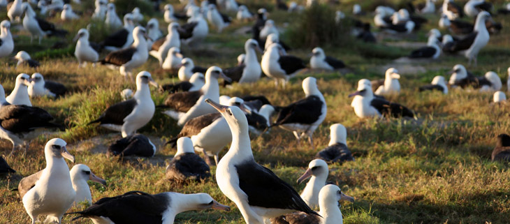 island-conservation-preventing-extinctions-invasive-species-friends-of-Midway-atoll-Albatross-breeding-colony-feat