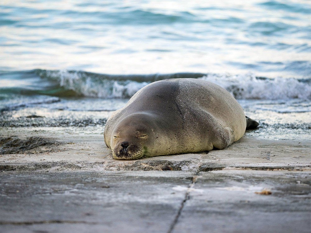 island-conservation-preventing-extinctions-invasive-species-friends-of-Midway-Atoll-Hawaiian-Monk-Seal