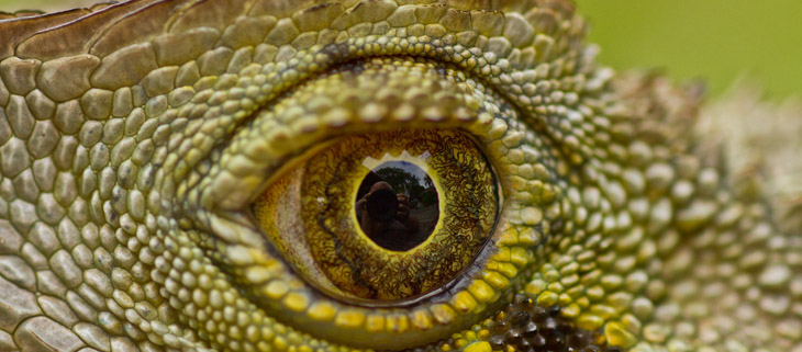 island-conservation-invasive-species-preventing-extinctions-Australia-Reptiles-water-dragon-eye-feat