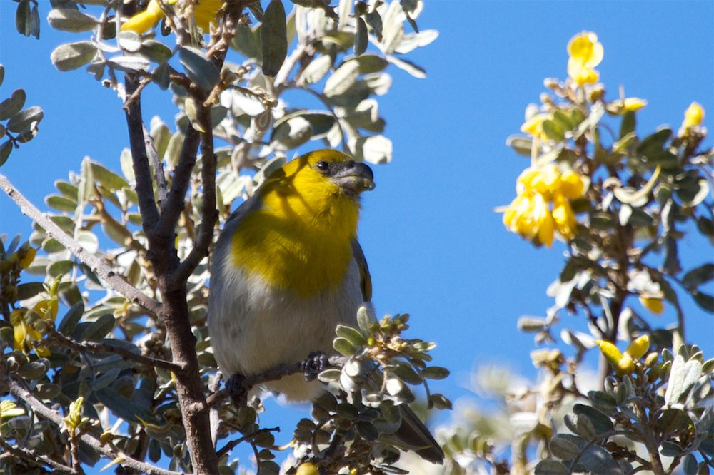 island-conservation-invasive-species-preventing-extinctions-Hawaii-Forest-Birds-Palila