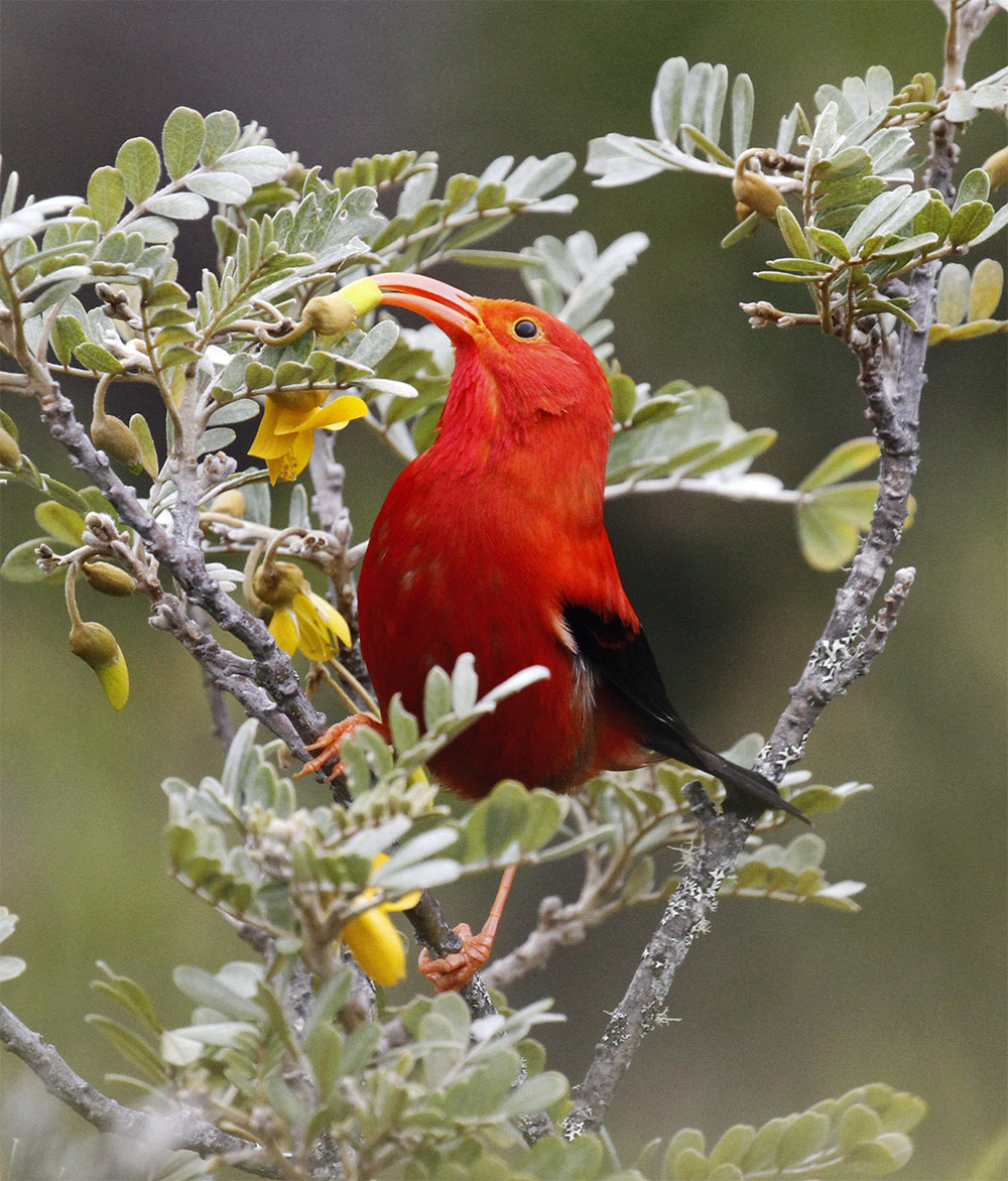 island-conservation-invasive-species-preventing-extinctions-Hawaii-Forest-Birds-iiwi