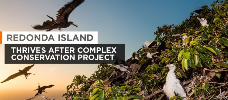 island-conservation-invasive-species-preventing-extinctions-magnificent-frigatebird-colony-featured
