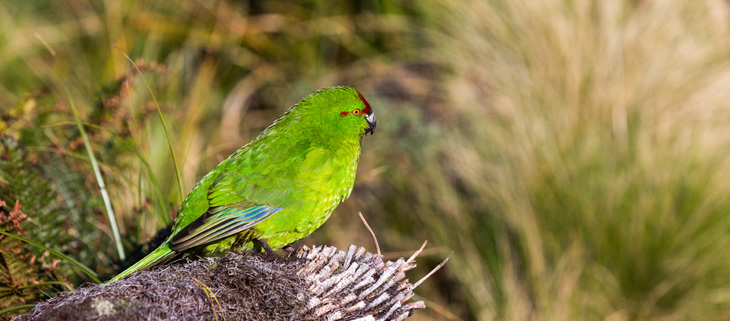 island-conservation-invasvie-species-preventing-extinctions-antipodes-islands-reischeks-parakeet