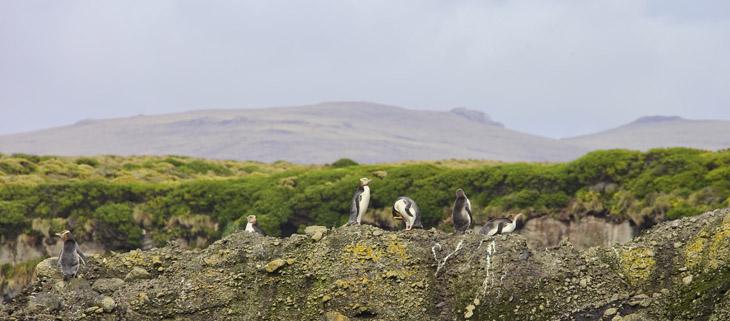 island-conservation-invasive-species-preventing-extinctions-auckland-island-feat