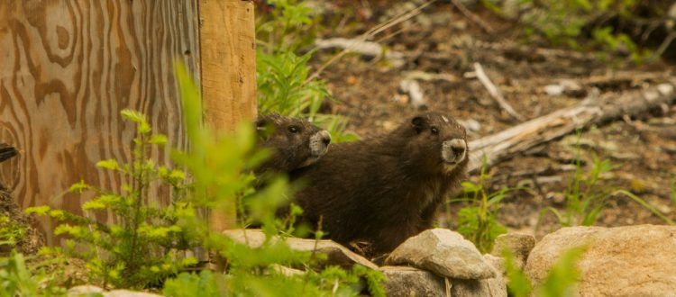 Island-conservation-invasive-species-preventing-extinctions-vancouver-island-marmot