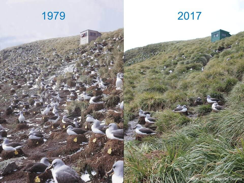 island-conservation-invasive-species-preventing-extinctions-south-georgia-island-grey-headed-albatross