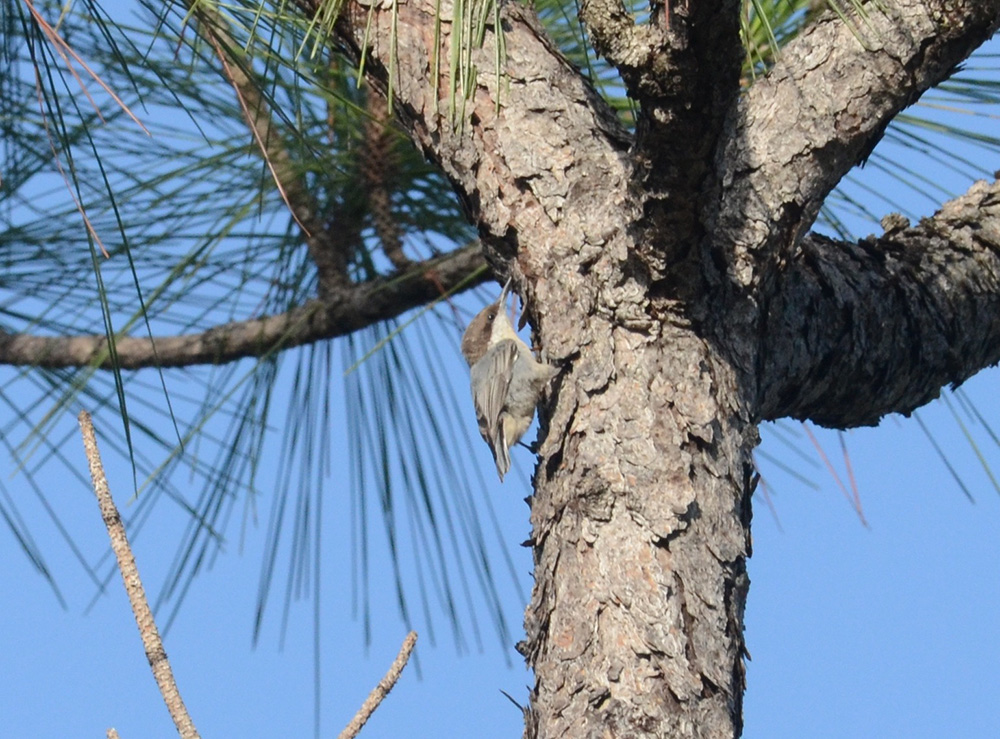 island-conservation-invasive-species-preventing-extinctions-bahama-nuthatch