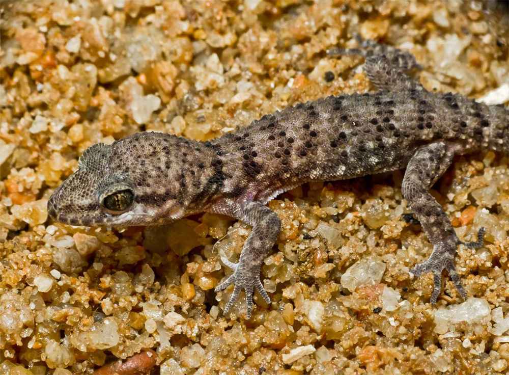 island-conservation-invasive-species-preventing-extinctions-feral-cats-Kakadu-National-Park-Heteronotia-binoei-prickly-gecko