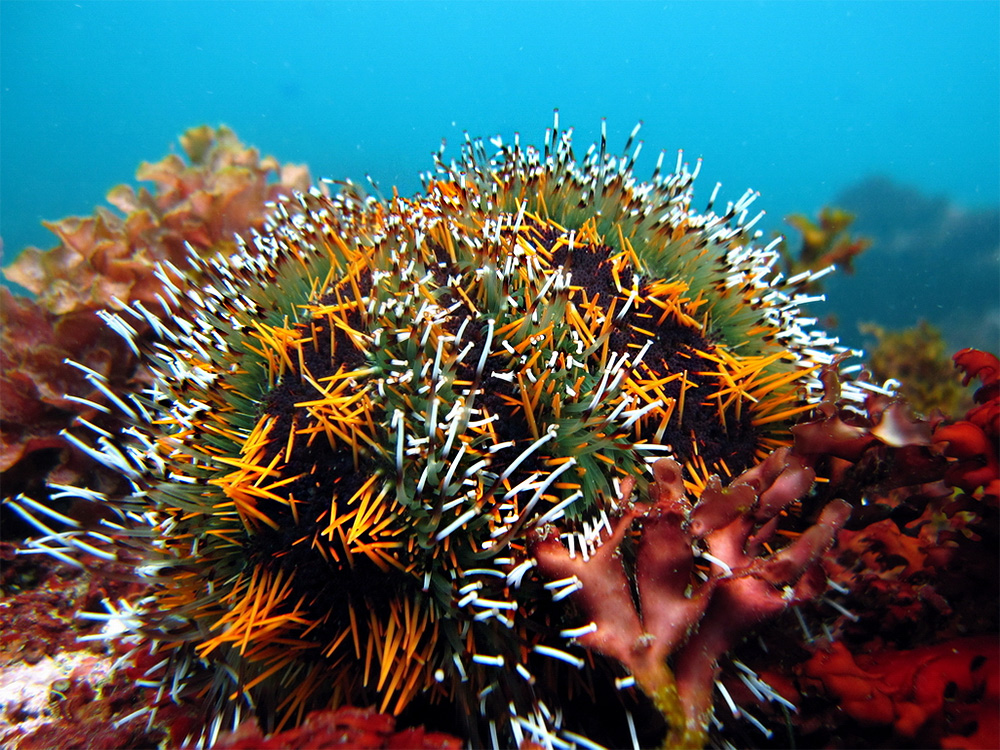 island-conservation-invasive-species-preventing-extinctions-sea-urchin-hawaii-native-species