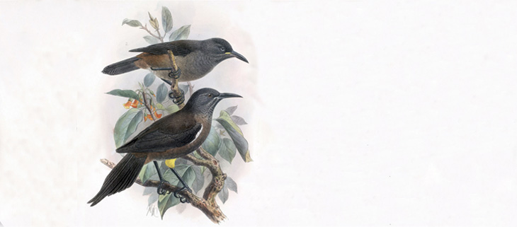 island-conservation-invasive-species-preventing-exinctions-kauai-bird-ʻōʻō-feat