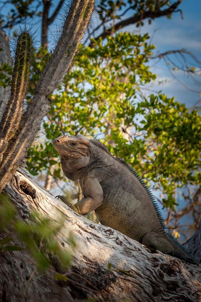island-conservation-invasive-species-preventing-extinctions-CEMEX-island-book-cabritos-iguana